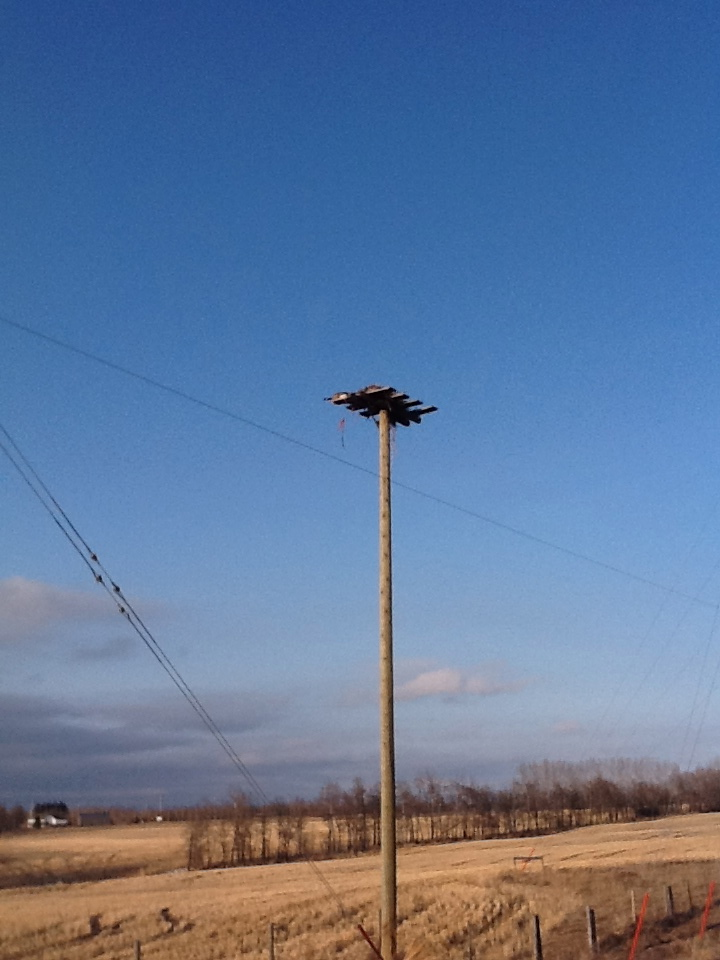 Geese in the osprey nest