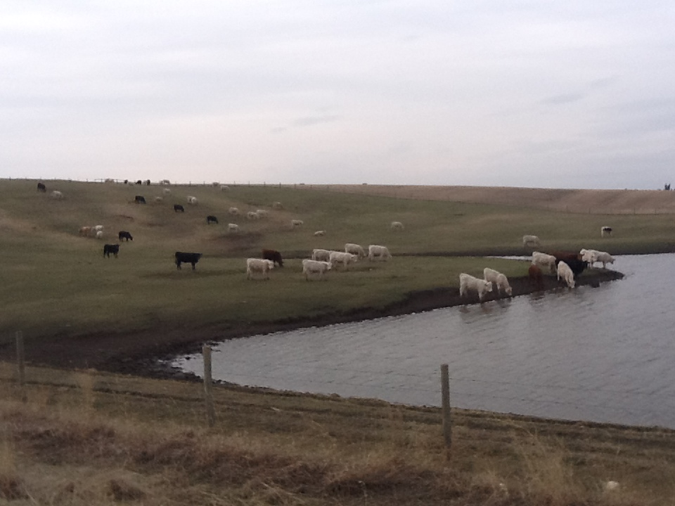 Cows at the Slough