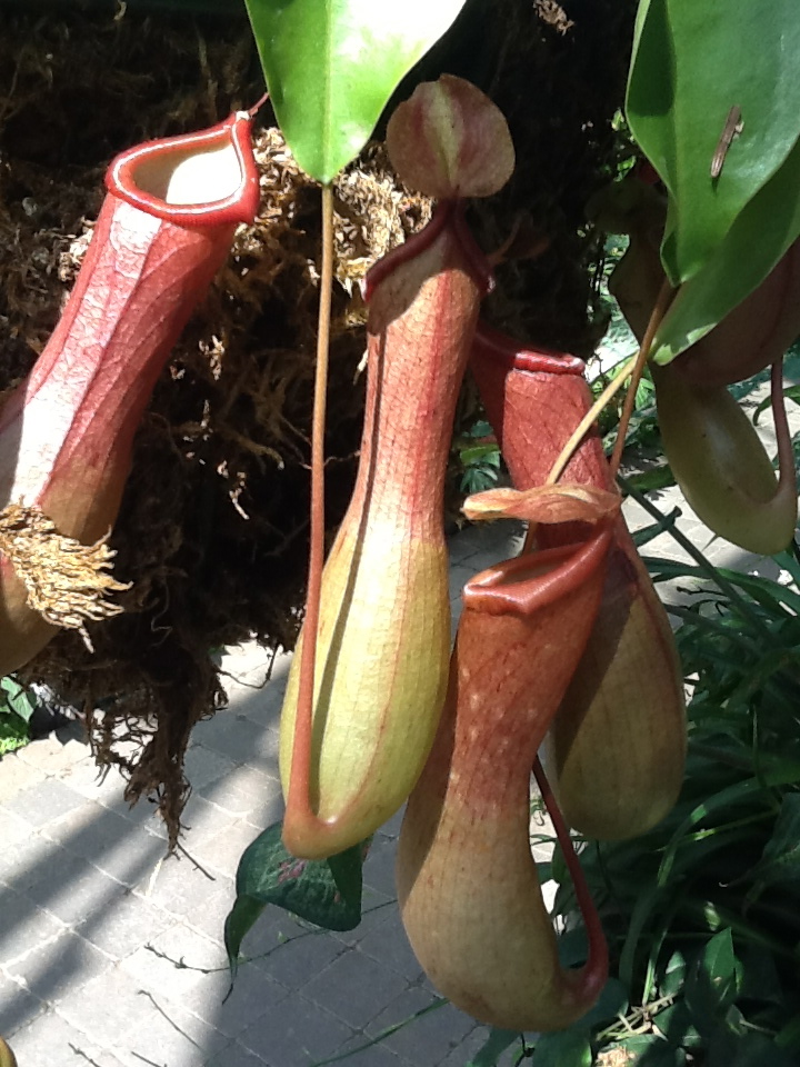 Pitcher Plants at The Muttart Conservatory