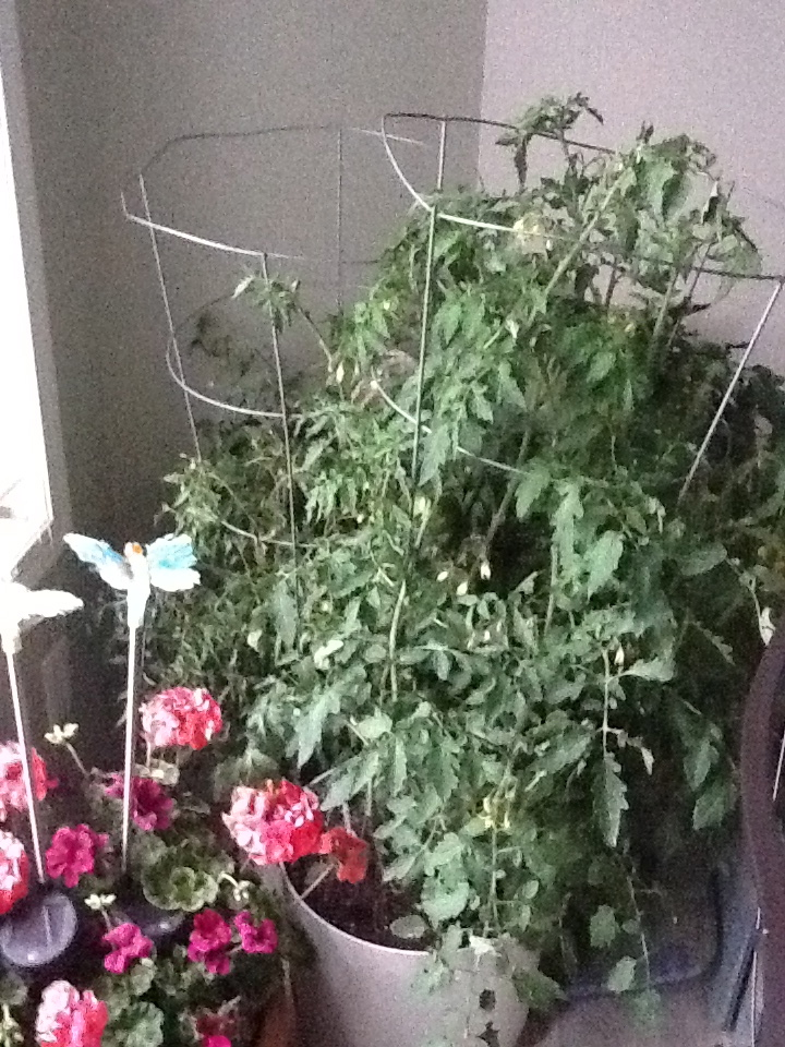 Plants sheltering from another hail storm in the kitchen