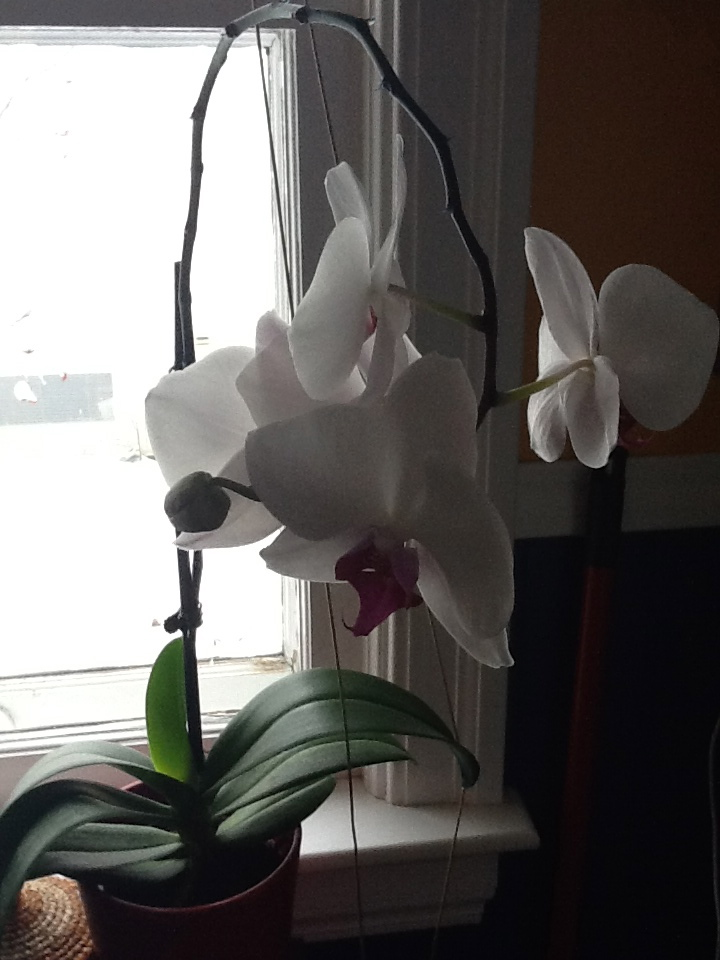 Orchid at Lorraine's house in Edmonton