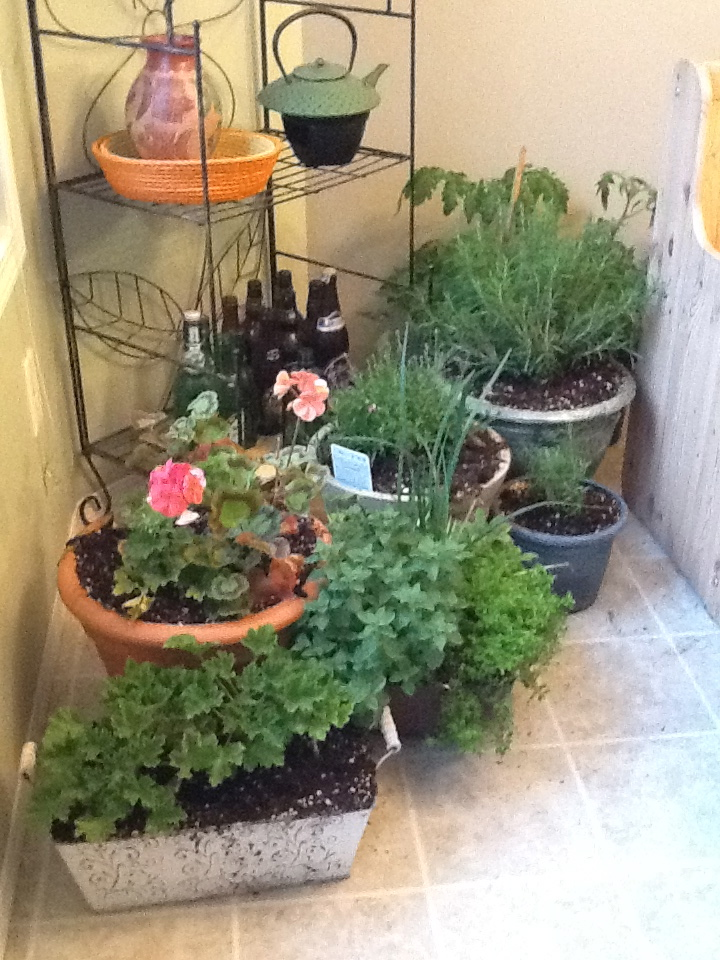 The herbs, tomatoes and Germaniums sheltering in the kitchen