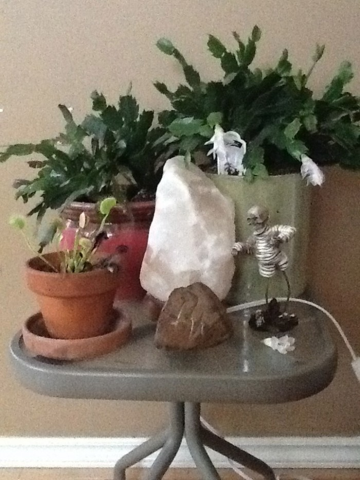 The Christmas Cactus is Flowering