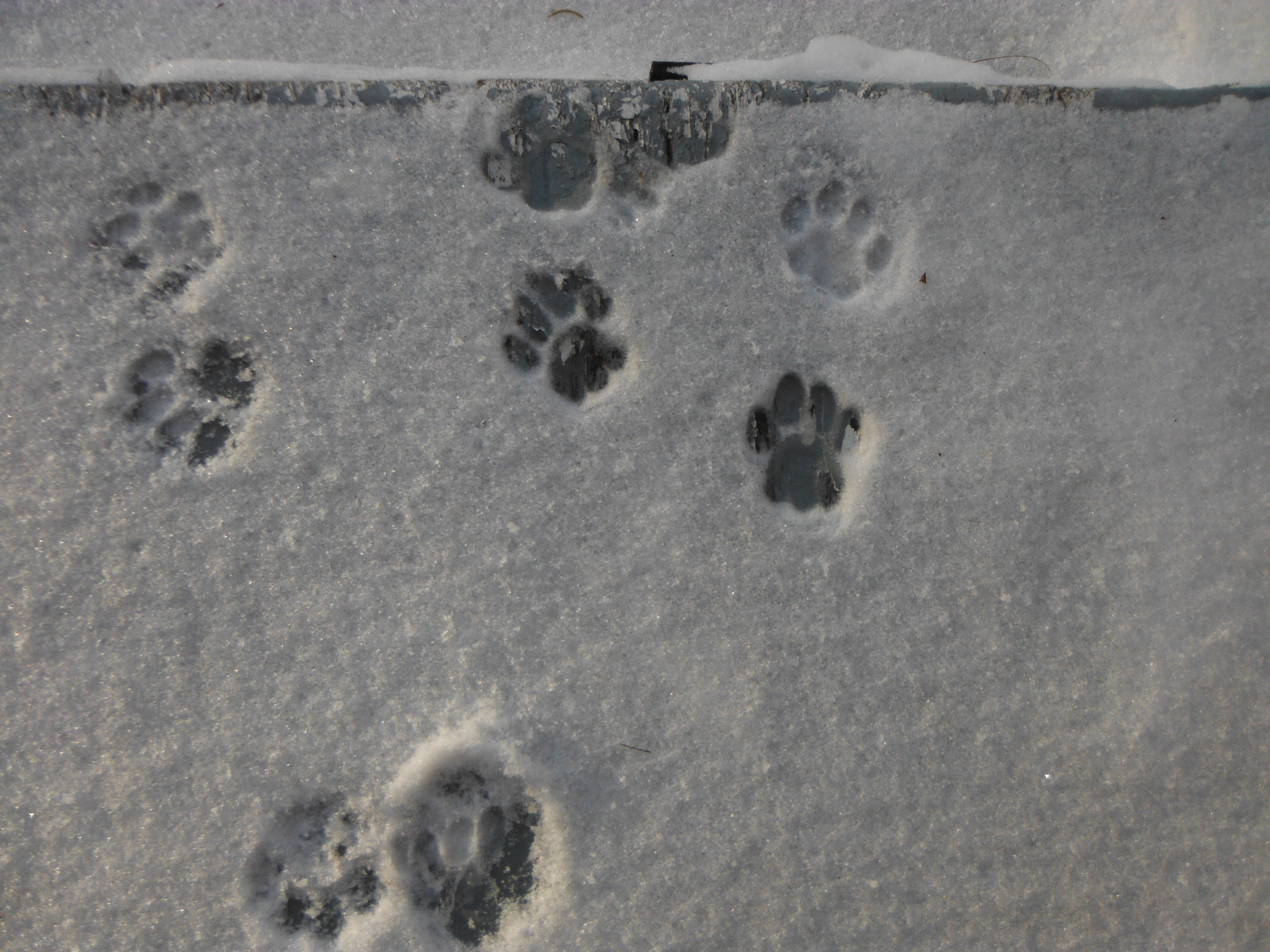 Cat tracks on the front step