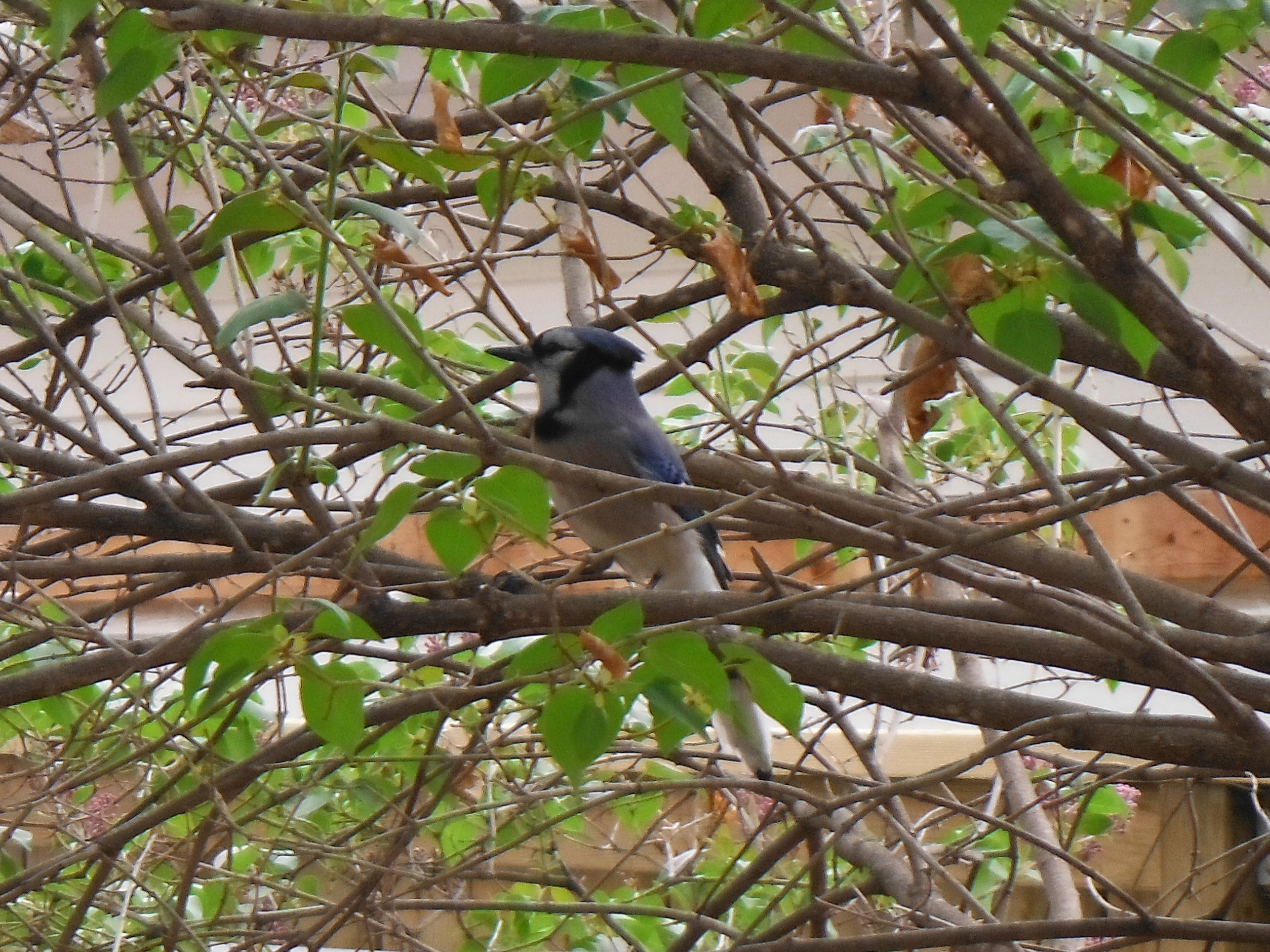 Blue Jay in the Lilac Tree