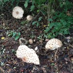 Glenora Mushrooms
