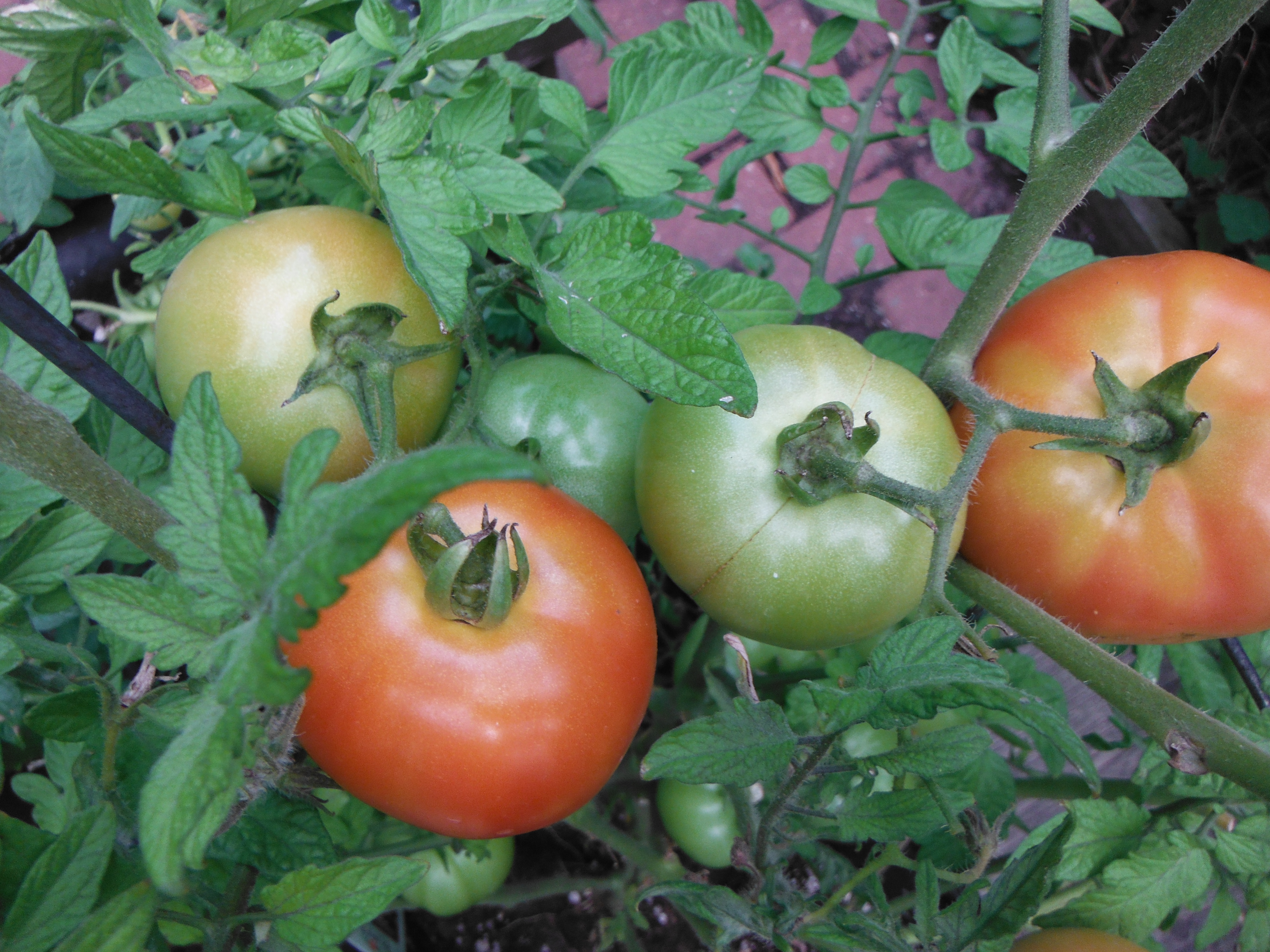 The ripening tomatoes