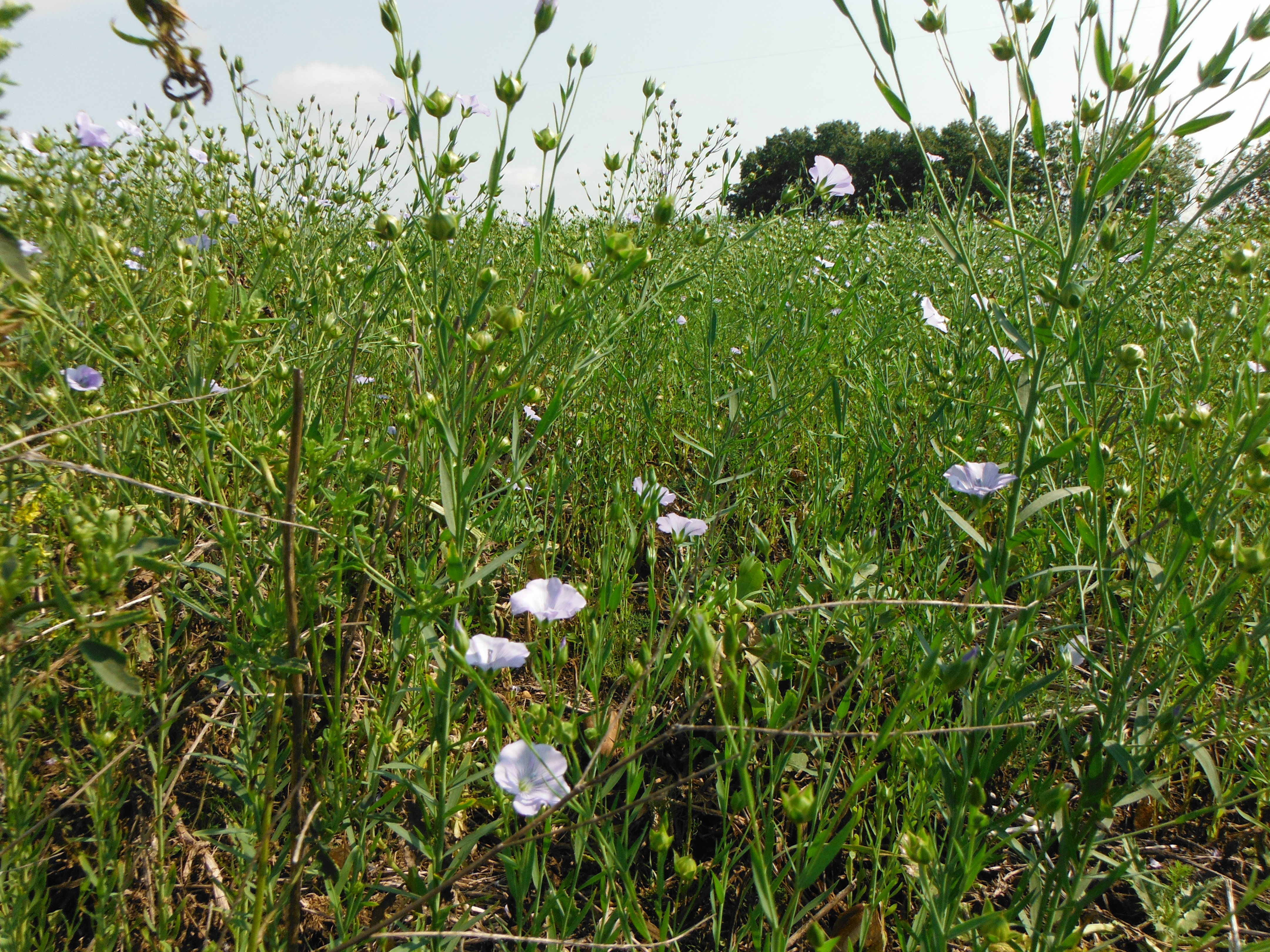 Middle of a flax field
