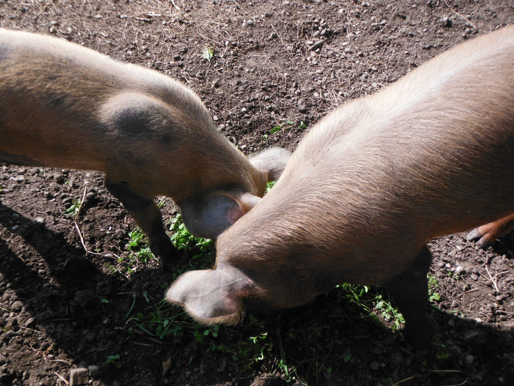 Pigs eating weeds at Fort Edmonton