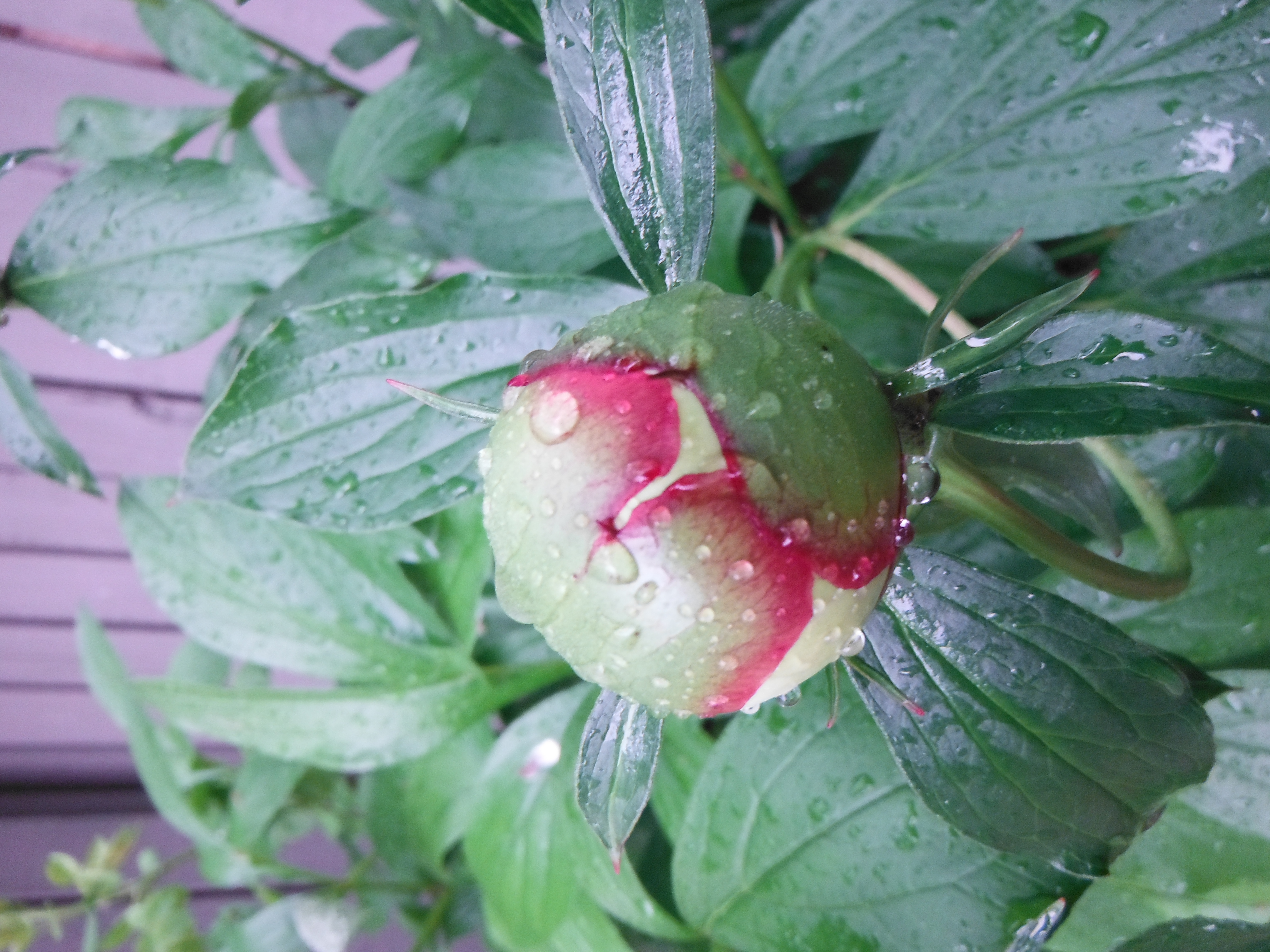 A Peony about to bloom