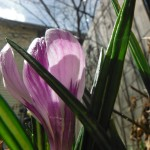 Beneath the first Crocus