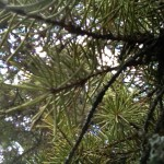 Beneath a pine tree