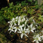 White Onion Flowers