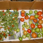 The Tomato Ripening Box
