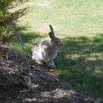 Hare at Robbins Learning Centre